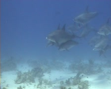 Bottlenose dolphins passing scuba divers Stock Footage