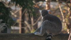 Startled lemur - stock footage