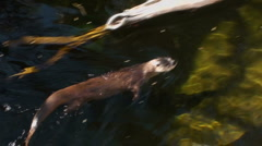 Otter Swim Stock Footage