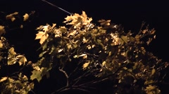 Branches and yellow leaves of Norway maple (Acer platanoides) swaying in the win Stock Footage