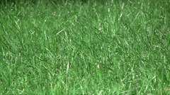 Spring fresh lawn grass swaying in the wind in the garden Stock Footage