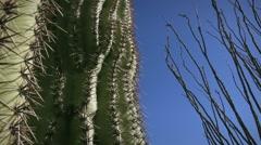 (1245) Giant Arizona Sonora Desert Saguaro and Ocotillo Cactus Stock Footage