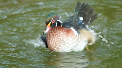 Wood duck dabble Stock Footage