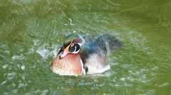 wood duck dabble - stock footage