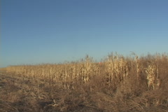 Pheasant Hunting Flush Stock Footage