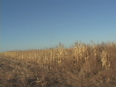 Stock Video Footage of Pheasant Hunting Flush