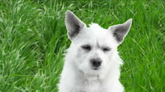 Dog Grass Field Stock Footage