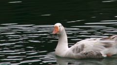 Geese swimming in the river Stock Footage