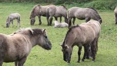 Tarpan horses Stock Footage