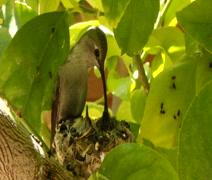 1 week old hummingbirds being fed Pt 2 Stock Footage