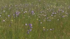 Blue bell wildflowers Stock Footage