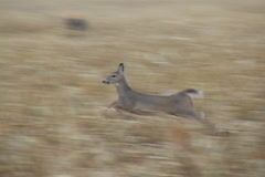 Whitetail Deer Running Stock Footage