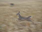 Stock Video Footage of Whitetail Deer Running