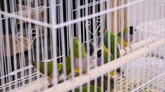 Gouldian Finches In Cage  Stock Footage
