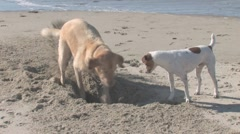 Two Dogs Digging Hole on the Beach Stock Footage