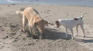 Stock Video Footage of Two Dogs Digging Hole on the Beach