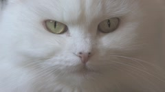 Persian White Cat Close Up Stock Footage