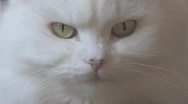 Stock Video Footage of Persian White Cat Close Up