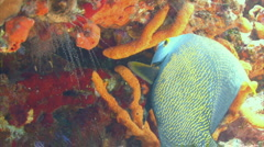 French angelfish feeding from a coral reef - stock footage