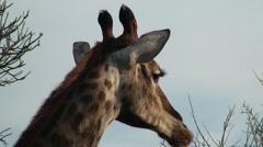 Beautiful eating giraffe close up Stock Footage