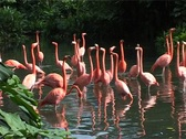 Flamingos in Tropical Setting GFSD Stock Footage