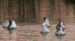 Geese swimming on the lake Stock Footage