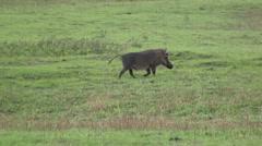 Warthog running  Stock Footage