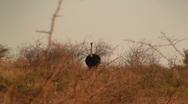 Running ostrich Stock Footage