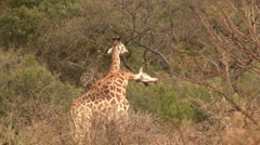Giraffes fighting and duelling Stock Footage