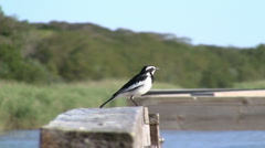 Bird, african pied wagtail Stock Footage