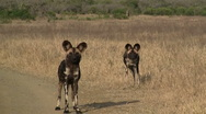 Wild dogs in South Africa Stock Footage