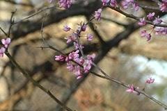 Eastern Redbud Blooming Stock Footage
