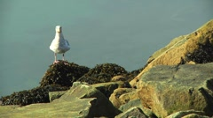 Sea gull Pecks at Kelp on ocean Shore rocks with Watery background Stock Footage