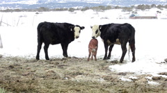 Newborn calf in snow with mother cows P HD 8710 Stock Footage