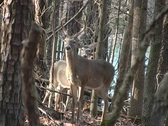 Stock Video Footage of Deer - Buck and Doe