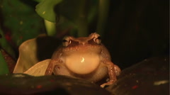 Coqui Frog (Front View) Extreme Closeup Stock Footage