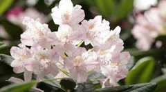 Blooming pink rhododendron (Ericaceae family) plant 7 - stock footage