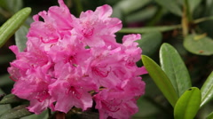 Blooming pink rhododendron (Ericaceae family) plant 8 Stock Footage