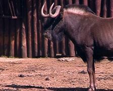 Antelope gnu. Stock Footage