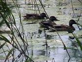 Mallard duck. Stock Footage