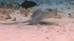 Stingray swimming with fish Stock Footage