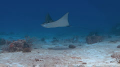 Spotted Eagleray Stock Footage