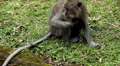 Balinese Macaque Monkey Male and Female playing, eating, jumping, scratching Footage