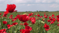 Poppy dancing in the wind Stock Footage