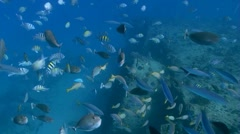 School of Fish Stock Footage