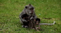 RARE - Balinese Macaque Monkey mother carrying her twins little monkeys HD Footage