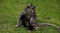 RARE - Balinese Macaque Monkey mother carrying her twins little monkeys, cubs HD Footage