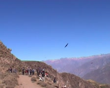 Andean Condors (Vultur gryphus) - stock footage