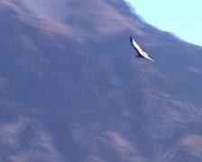 Andean Condor (Vultur gryphus) Stock Footage