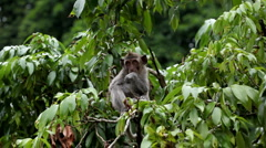 Balinese Macaque Monkey Male and Female playing, eating, jumping, scratching - stock footage